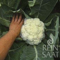 Karfiol, biovetőmag