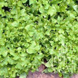 Zupfsalat, Salad bowl - Biosaatgut