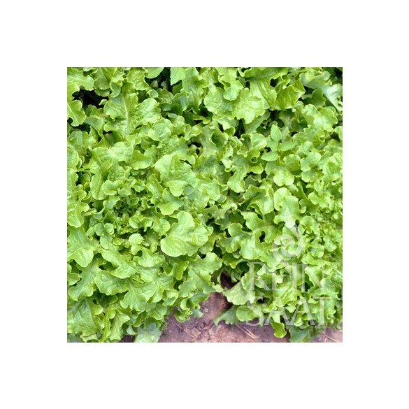 Tépősaláta - Salad bowl, biovetőmag