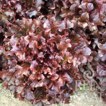 Zupfsalat, Red salad bowl - Biosaatgut