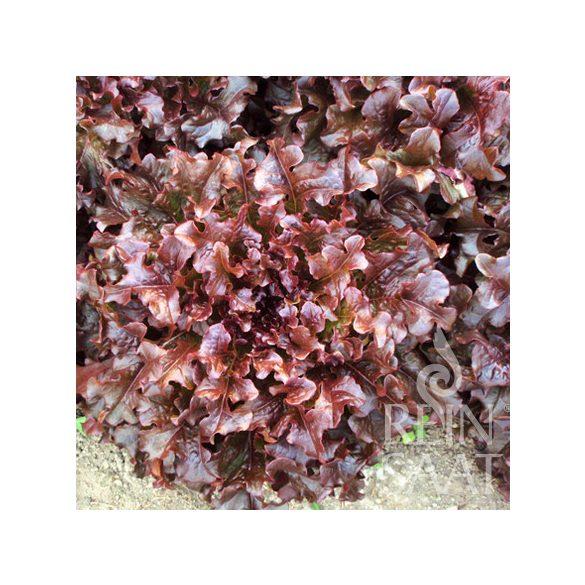Tépősaláta  biovetőmag, Red salad bowl