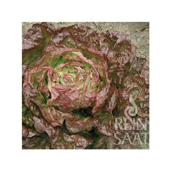 Fejes saláta biovetőmag, Merveille des quatre saisons
