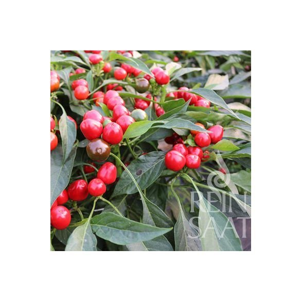 Kirschpaprika, Red  Cherry small - Biosaatgut