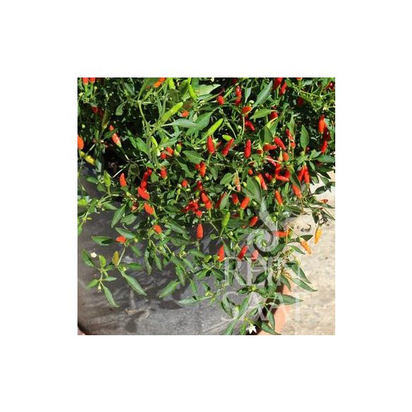 Pepperóni paprika biovetőmag, Wildpfefferoni