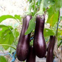 Padlizsán biovetőmag, Violetta lunga 3
